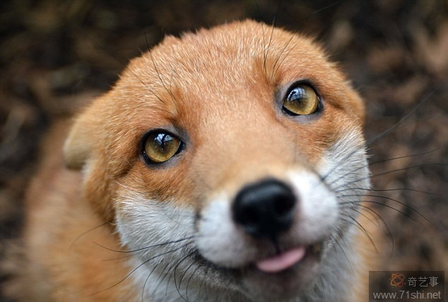 Rescued Fox Too Friendly To Be Released Back into Wild